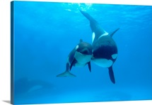 Orca mother and newborn baby, Sea World, Kamogawa, Japan