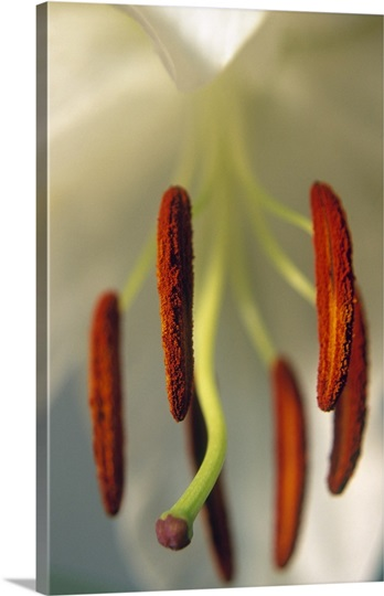 Pollen-covered Lily Stamen