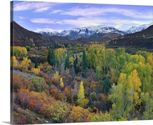 Quaking Aspen forest in autumn, Snowmass Mountain near Quaking Aspen, Colorado