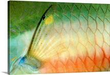 Red-banded Parrotfish (Sparisoma aurofrenatum) pectoral fin, Lesser Antilles, Caribbean