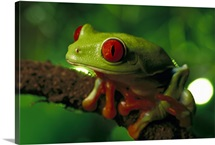 Red-eyed Tree Frog, native to tropical rainforests of Central America
