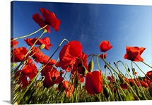 Red Poppy flowers and buds, Lower Saxony, Germany