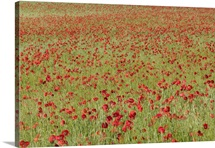 Red Poppy (Papaver rhoeas) in a cereal field, Yonne, France