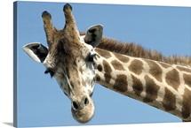 Reticulated Giraffe portrait, native to Africa