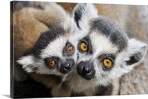 Ring-tailed Lemur (Lemur catta), portrait of adult with young.