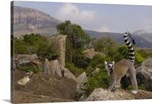 Ring-tailed Lemur overlooking the Andringitra Mountains, Madagascar