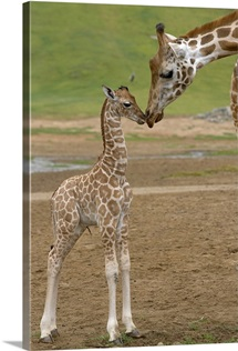 Rothschild Giraffe  mother kissing calf, native to Africa