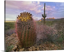 Saguaro and Giant Barrel Cactus, Saguaro National Park, Arizona