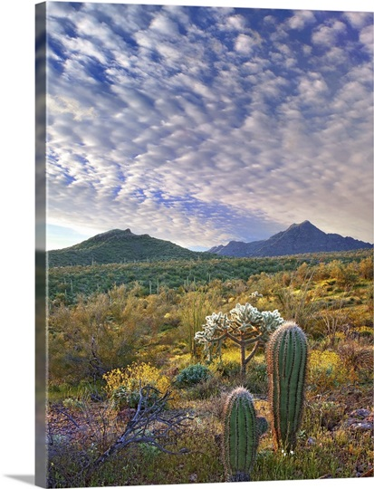 Saguaro and Teddybear Cholla amid Lupine and California Brittlebush, Arizona