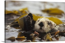 Sea Otter floating in kelp bed, northern Pacific Ocean