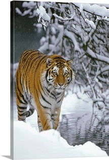 Siberian Tiger walking in snow, Siberian Tiger Park, Harbin, China