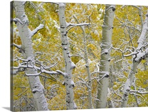 Snow-covered Aspen forest near Kebbler Pass, Gunnison National Forest, Colorado