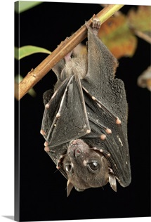 Spotted-winged Fruit Bat (Balionycteris maculata) roosting, Borneo, Malaysia