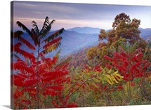 Staghorn Sumac (Rhus typhina) in autumn, Blue Ridge Mountain Range, Virginia