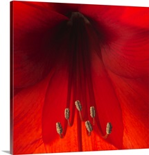 Stamen of a Red Lily