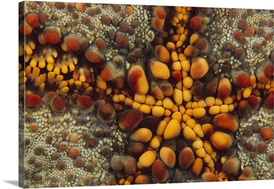 Starfish mouth, Kimbe Bay, Papua New Guinea