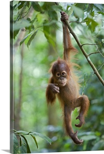 Sumatran Orangutan baby dangling from tree branch, north Sumatra, Indonesia
