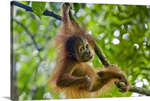 Sumatran Orangutan baby playing in tree, north Sumatra, Indonesia