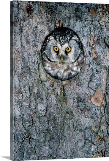 Tengmalm S Owl Or Boreal Owl Peaking Through Hole In Tree