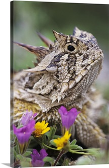 Texas Horned Lizard (Phrynosoma cornutum) portrait, Texas
