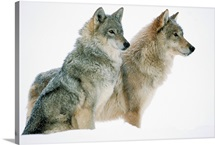 Timber Wolf (Canis lupus) portrait of pair sitting in snow, North America