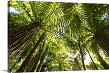 Tree Fern forest near Haast Pass, New Zealand