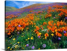 Wildflowers growing on hillside, spring, Antelope Valley, California