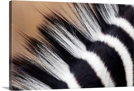 Zebra (Equus quagga) mane, Khama Rhino Sanctuary, Serowe, Botswana
