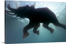 A 60-year-old elephant takes a dip in the warm waters of the Andaman Sea