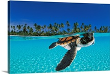A baby green sea turtle swimming in a tropical paradise