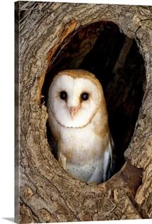 A barn owl, Tyto alba, hiding in it's nest in a tree