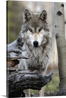 A beautiful portrait of a gray wolf, Canis lupus