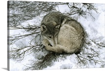 A beta male gray wolf rests on willow bedding to stay dry