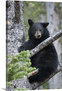 bear branch black singles The american black bear is the most common and container and hang it from a tree branch at least 10 feet above living with wildlife in the.