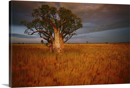 A boab tree stands solitary in the bush near Wyndham, Western Australia