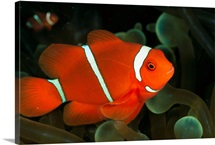 A brilliant, flourescent-orange spine-cheeked clownfish, Papua New Guinea, Melanesia