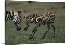 A Burchell's zebra foal playfully approaches its mother