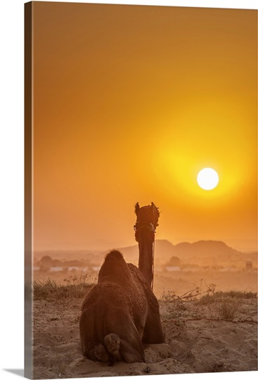 A camel resting in the desert at sunset during the Pushkar ...