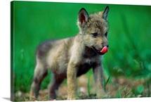 A captive gray wolf licks his nose, Rapid City, South Dakota