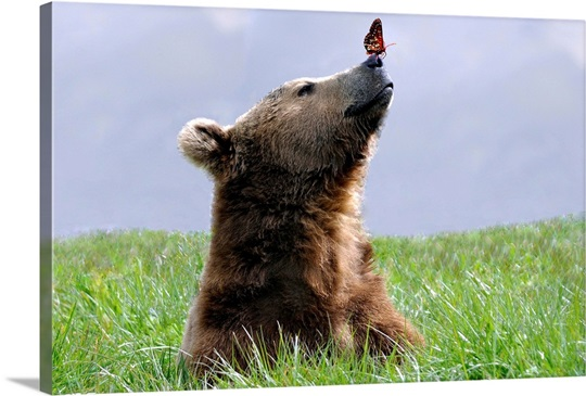 A Checker Spot Butterfly On A Brown Bear S Nose Photo Canvas Print Great Big Canvas
