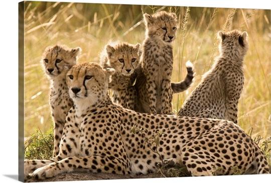 A cheetah family: mother and cubs, Masai Mara, Kenya