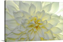 A close up of a white dahlia flower