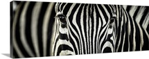 A close up of a zebra in which the eyes are almost hidden
