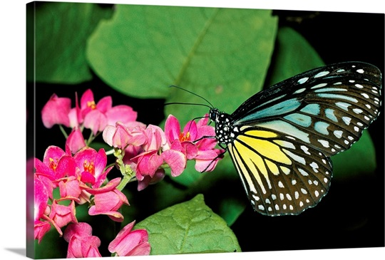 A close view of a blue and yellow glassy tiger butterfly on a pink flower, Asia