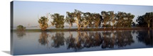 A dawn reflection of a row of paperbark trees lining a wetland shore