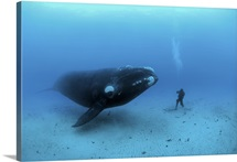 A diver has a close encounter with a southern right whale