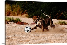 A domesticated African cheetah playing soccer, Namibia, Africa