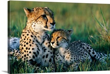 A female African cheetah and her cub, Okavango Delta, Botswana