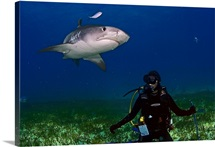 A female diver encounters a tiger shark