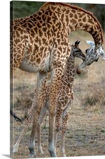 A female Masai giraffe nuzzles her newborn calf